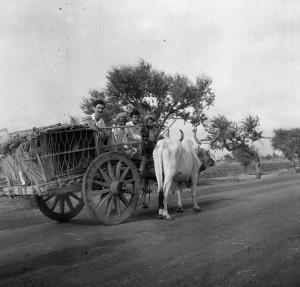 Adrian on a bullock cart.